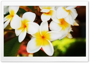 Exotic Flowers Plumerias HD Wide Wallpaper for Widescreen