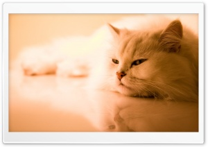 Exotic White Cat HD Wide Wallpaper for Widescreen