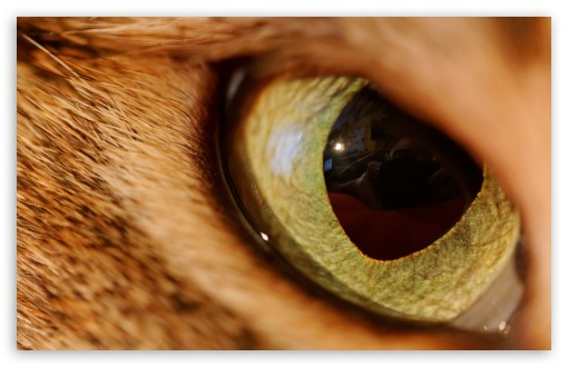 Eye Of The Tiger HD wallpaper for Wide 16:10 5:3 Widescreen WHXGA WQXGA WUXGA WXGA WGA ; HD 16:9 High Definition WQHD QWXGA 1080p 900p 720p QHD nHD ; UHD 16:9 WQHD QWXGA 1080p 900p 720p QHD nHD ; Standard 3:2 Fullscreen DVGA HVGA HQVGA devices ( Apple PowerBook G4 iPhone 4 3G 3GS iPod Touch ) ; Mobile 5:3 3:2 16:9 - WGA DVGA HVGA HQVGA devices ( Apple PowerBook G4 iPhone 4 3G 3GS iPod Touch ) WQHD QWXGA 1080p 900p 720p QHD nHD ;