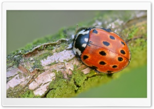 Eyed Ladybug HD Wide Wallpaper for Widescreen