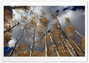 Fall Birch Trees HD Wide Wallpaper for 4K UHD Widescreen desktop & smartphone