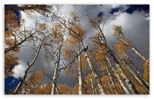 Fall Birch Trees ❤ 4K UHD Wallpaper for Wide 16:10 5:3 Widescreen WHXGA WQXGA WUXGA WXGA WGA ; 4K UHD 16:9 Ultra High Definition 2160p 1440p 1080p 900p 720p ; Standard 4:3 3:2 Fullscreen UXGA XGA SVGA DVGA HVGA HQVGA ( Apple PowerBook G4 iPhone 4 3G 3GS iPod Touch ) ; iPad 1/2/Mini ; Mobile 4:3 5:3 3:2 16:9 - UXGA XGA SVGA WGA DVGA HVGA HQVGA ( Apple PowerBook G4 iPhone 4 3G 3GS iPod Touch ) 2160p 1440p 1080p 900p 720p ;