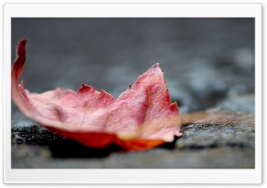 Fall Leaf HD Wide Wallpaper for Widescreen
