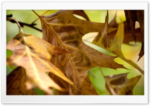 Fall Leaves Macro HD Wide Wallpaper for Widescreen