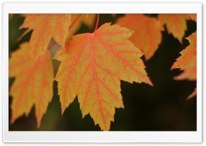 Fall Maple HD Wide Wallpaper for Widescreen