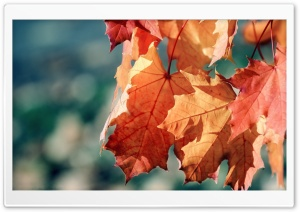Fall Maple Leaves HD Wide Wallpaper for Widescreen