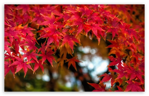 Fall Maples UltraHD Wallpaper for Wide 16:10 5:3 Widescreen WHXGA WQXGA WUXGA WXGA WGA ; 8K UHD TV 16:9 Ultra High Definition 2160p 1440p 1080p 900p 720p ; UHD 16:9 2160p 1440p 1080p 900p 720p ; Standard 4:3 5:4 3:2 Fullscreen UXGA XGA SVGA QSXGA SXGA DVGA HVGA HQVGA ( Apple PowerBook G4 iPhone 4 3G 3GS iPod Touch ) ; Smartphone 5:3 WGA ; Tablet 1:1 ; iPad 1/2/Mini ; Mobile 4:3 5:3 3:2 16:9 5:4 - UXGA XGA SVGA WGA DVGA HVGA HQVGA ( Apple PowerBook G4 iPhone 4 3G 3GS iPod Touch ) 2160p 1440p 1080p 900p 720p QSXGA SXGA ;