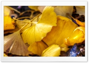 Fallen Ginkgo Leaves HD Wide Wallpaper for Widescreen