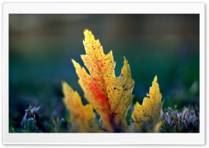 Fallen Leaf Macro HD Wide Wallpaper for Widescreen