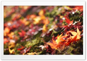 Fallen Maple Leaves HD Wide Wallpaper for Widescreen
