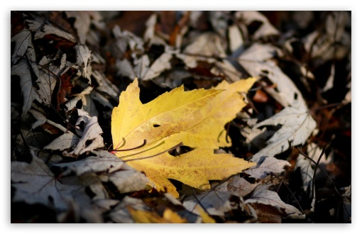 Fallen Yellow Leaf ❤ 4K UHD Wallpaper for Wide 16:10 5:3 Widescreen WHXGA WQXGA WUXGA WXGA WGA ; 4K UHD 16:9 Ultra High Definition 2160p 1440p 1080p 900p 720p ; Standard 4:3 5:4 3:2 Fullscreen UXGA XGA SVGA QSXGA SXGA DVGA HVGA HQVGA ( Apple PowerBook G4 iPhone 4 3G 3GS iPod Touch ) ; Tablet 1:1 ; iPad 1/2/Mini ; Mobile 4:3 5:3 3:2 16:9 5:4 - UXGA XGA SVGA WGA DVGA HVGA HQVGA ( Apple PowerBook G4 iPhone 4 3G 3GS iPod Touch ) 2160p 1440p 1080p 900p 720p QSXGA SXGA ;
