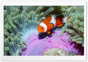 False Clown Anemonefish In Sea Anemone Similan Islands Andaman Sea Thailand HD Wide Wallpaper for Widescreen