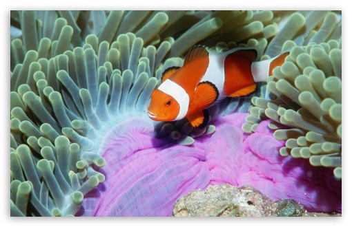 False Clown Anemonefish In Sea Anemone Similan Islands Andaman Sea Thailand HD wallpaper for Wide 16:10 5:3 Widescreen WHXGA WQXGA WUXGA WXGA WGA ; HD 16:9 High Definition WQHD QWXGA 1080p 900p 720p QHD nHD ; Standard 4:3 5:4 3:2 Fullscreen UXGA XGA SVGA QSXGA SXGA DVGA HVGA HQVGA devices ( Apple PowerBook G4 iPhone 4 3G 3GS iPod Touch ) ; Tablet 1:1 ; iPad 1/2/Mini ; Mobile 4:3 5:3 3:2 16:9 5:4 - UXGA XGA SVGA WGA DVGA HVGA HQVGA devices ( Apple PowerBook G4 iPhone 4 3G 3GS iPod Touch ) WQHD QWXGA 1080p 900p 720p QHD nHD QSXGA SXGA ;
