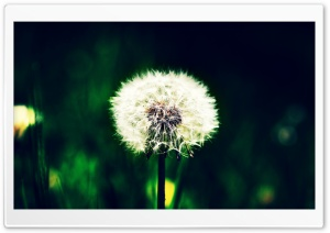 Farsejin, Dandelion, Nature HD Wide Wallpaper for 4K UHD Widescreen desktop & smartphone