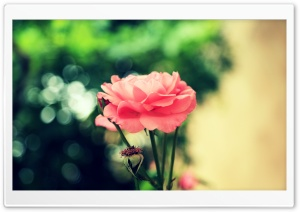 Farsejin Pink Flower HD Wide Wallpaper for Widescreen