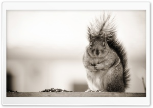 Fat Squirrel HD Wide Wallpaper for Widescreen