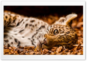 Feline Cub HD Wide Wallpaper for Widescreen