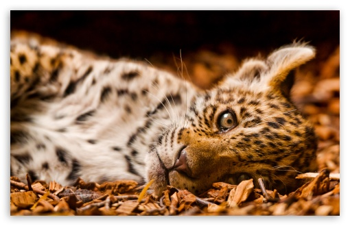 Feline Cub HD wallpaper for Wide 16:10 5:3 Widescreen WHXGA WQXGA WUXGA WXGA WGA ; HD 16:9 High Definition WQHD QWXGA 1080p 900p 720p QHD nHD ; Standard 4:3 5:4 3:2 Fullscreen UXGA XGA SVGA QSXGA SXGA DVGA HVGA HQVGA devices ( Apple PowerBook G4 iPhone 4 3G 3GS iPod Touch ) ; iPad 1/2/Mini ; Mobile 4:3 5:3 3:2 16:9 5:4 - UXGA XGA SVGA WGA DVGA HVGA HQVGA devices ( Apple PowerBook G4 iPhone 4 3G 3GS iPod Touch ) WQHD QWXGA 1080p 900p 720p QHD nHD QSXGA SXGA ;