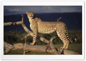 Female Cheetah On The Lookout Masai Mara Kenya HD Wide Wallpaper for Widescreen