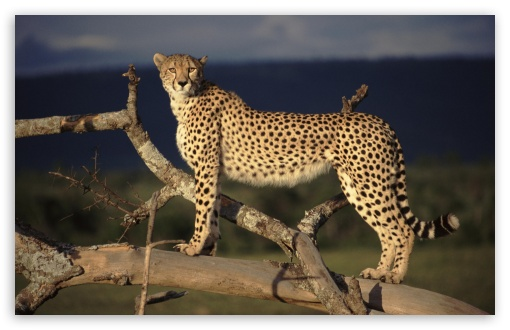 Female Cheetah On The Lookout Masai Mara Kenya HD wallpaper for Wide 16:10 5:3 Widescreen WHXGA WQXGA WUXGA WXGA WGA ; HD 16:9 High Definition WQHD QWXGA 1080p 900p 720p QHD nHD ; Standard 4:3 5:4 3:2 Fullscreen UXGA XGA SVGA QSXGA SXGA DVGA HVGA HQVGA devices ( Apple PowerBook G4 iPhone 4 3G 3GS iPod Touch ) ; Tablet 1:1 ; iPad 1/2/Mini ; Mobile 4:3 5:3 3:2 16:9 5:4 - UXGA XGA SVGA WGA DVGA HVGA HQVGA devices ( Apple PowerBook G4 iPhone 4 3G 3GS iPod Touch ) WQHD QWXGA 1080p 900p 720p QHD nHD QSXGA SXGA ;
