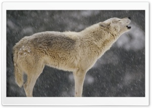 Female Timber Wolf Howling North America HD Wide Wallpaper for Widescreen