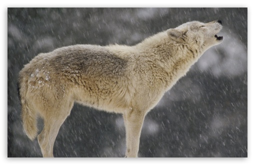 Female Timber Wolf Howling North America HD wallpaper for Wide 16:10 5:3 Widescreen WHXGA WQXGA WUXGA WXGA WGA ; HD 16:9 High Definition WQHD QWXGA 1080p 900p 720p QHD nHD ; Standard 3:2 Fullscreen DVGA HVGA HQVGA devices ( Apple PowerBook G4 iPhone 4 3G 3GS iPod Touch ) ; Mobile 5:3 3:2 16:9 - WGA DVGA HVGA HQVGA devices ( Apple PowerBook G4 iPhone 4 3G 3GS iPod Touch ) WQHD QWXGA 1080p 900p 720p QHD nHD ;