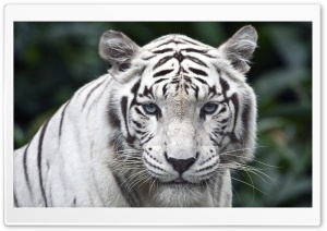 Female White Tiger HD Wide Wallpaper for 4K UHD Widescreen desktop & smartphone