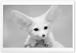 Fennec Fox HD Wide Wallpaper for Widescreen