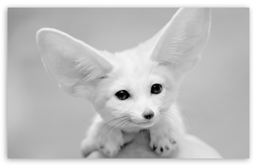 Fennec Fox ❤ 4K UHD Wallpaper for Wide 16:10 5:3 Widescreen WHXGA WQXGA WUXGA WXGA WGA ; 4K UHD 16:9 Ultra High Definition 2160p 1440p 1080p 900p 720p ; UHD 16:9 2160p 1440p 1080p 900p 720p ; Standard 4:3 5:4 3:2 Fullscreen UXGA XGA SVGA QSXGA SXGA DVGA HVGA HQVGA ( Apple PowerBook G4 iPhone 4 3G 3GS iPod Touch ) ; Tablet 1:1 ; iPad 1/2/Mini ; Mobile 4:3 5:3 3:2 16:9 5:4 - UXGA XGA SVGA WGA DVGA HVGA HQVGA ( Apple PowerBook G4 iPhone 4 3G 3GS iPod Touch ) 2160p 1440p 1080p 900p 720p QSXGA SXGA ; Dual 16:10 5:3 16:9 4:3 5:4 WHXGA WQXGA WUXGA WXGA WGA 2160p 1440p 1080p 900p 720p UXGA XGA SVGA QSXGA SXGA ;