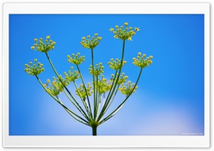 Fennel 3 HD Wide Wallpaper for 4K UHD Widescreen desktop & smartphone