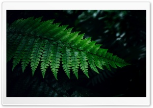 Fern HD Wide Wallpaper for Widescreen