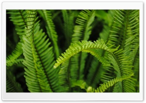 Fern Ultra HD Wallpaper for 4K UHD Widescreen desktop, tablet & smartphone