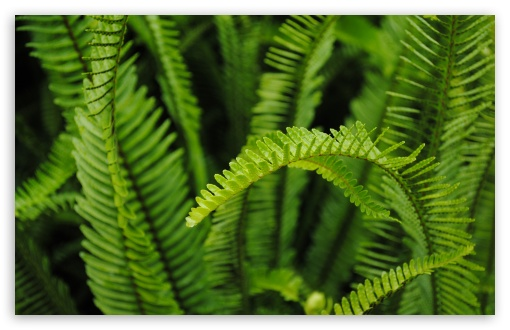 Fern HD wallpaper for Wide 16:10 5:3 Widescreen WHXGA WQXGA WUXGA WXGA WGA ; HD 16:9 High Definition WQHD QWXGA 1080p 900p 720p QHD nHD ; Standard 4:3 5:4 3:2 Fullscreen UXGA XGA SVGA QSXGA SXGA DVGA HVGA HQVGA devices ( Apple PowerBook G4 iPhone 4 3G 3GS iPod Touch ) ; Tablet 1:1 ; iPad 1/2/Mini ; Mobile 4:3 5:3 3:2 16:9 5:4 - UXGA XGA SVGA WGA DVGA HVGA HQVGA devices ( Apple PowerBook G4 iPhone 4 3G 3GS iPod Touch ) WQHD QWXGA 1080p 900p 720p QHD nHD QSXGA SXGA ;