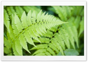Ferns HD Wide Wallpaper for Widescreen