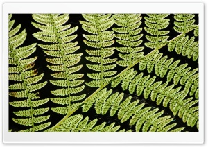 Ferns Ultra HD Wallpaper for 4K UHD Widescreen desktop, tablet & smartphone