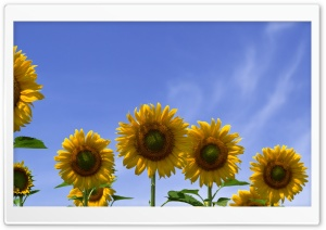 Few Sunflowers HD Wide Wallpaper for Widescreen
