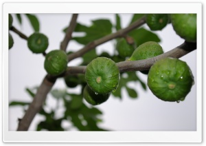 Ficus Carica HD Wide Wallpaper for Widescreen
