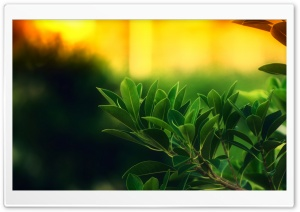 Ficus Green Leaves HD Wide Wallpaper for Widescreen