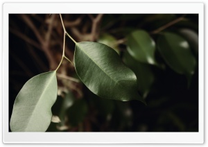 Ficus Leaves HD Wide Wallpaper for Widescreen