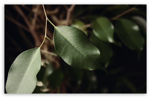 Ficus Leaves HD wallpaper for Wide 16:10 5:3 Widescreen WHXGA WQXGA WUXGA WXGA WGA ; HD 16:9 High Definition WQHD QWXGA 1080p 900p 720p QHD nHD ; Standard 4:3 5:4 3:2 Fullscreen UXGA XGA SVGA QSXGA SXGA DVGA HVGA HQVGA devices ( Apple PowerBook G4 iPhone 4 3G 3GS iPod Touch ) ; Tablet 1:1 ; iPad 1/2/Mini ; Mobile 4:3 5:3 3:2 16:9 5:4 - UXGA XGA SVGA WGA DVGA HVGA HQVGA devices ( Apple PowerBook G4 iPhone 4 3G 3GS iPod Touch ) WQHD QWXGA 1080p 900p 720p QHD nHD QSXGA SXGA ; Dual 4:3 5:4 UXGA XGA SVGA QSXGA SXGA ;