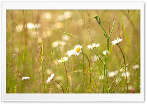 Field Daisies HD Wide Wallpaper for Widescreen