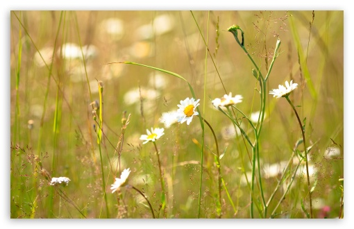 Field Daisies ❤ 4K UHD Wallpaper for Wide 16:10 5:3 Widescreen WHXGA WQXGA WUXGA WXGA WGA ; 4K UHD 16:9 Ultra High Definition 2160p 1440p 1080p 900p 720p ; Standard 4:3 5:4 3:2 Fullscreen UXGA XGA SVGA QSXGA SXGA DVGA HVGA HQVGA ( Apple PowerBook G4 iPhone 4 3G 3GS iPod Touch ) ; Tablet 1:1 ; iPad 1/2/Mini ; Mobile 4:3 5:3 3:2 16:9 5:4 - UXGA XGA SVGA WGA DVGA HVGA HQVGA ( Apple PowerBook G4 iPhone 4 3G 3GS iPod Touch ) 2160p 1440p 1080p 900p 720p QSXGA SXGA ;