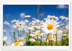 Field Flowers Chamomile HD Wide Wallpaper for 4K UHD Widescreen desktop & smartphone