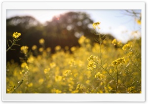 Field Full of Flowers HD Wide Wallpaper for Widescreen