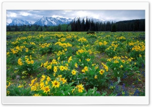 Field Of Arrowleaf Balsamroot And The Teton Range Wyoming HD Wide Wallpaper for 4K UHD Widescreen desktop & smartphone