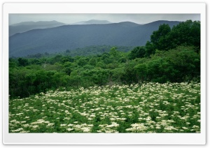 Field Of Cow Parsnip In Bloom Shenandoah National Park Virginia HD Wide Wallpaper for Widescreen