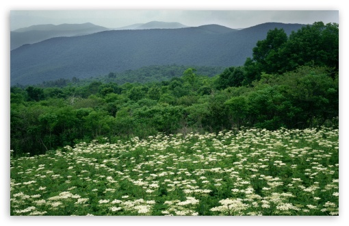 Field Of Cow Parsnip In Bloom Shenandoah National Park Virginia HD wallpaper for Wide 16:10 5:3 Widescreen WHXGA WQXGA WUXGA WXGA WGA ; Standard 4:3 5:4 3:2 Fullscreen UXGA XGA SVGA QSXGA SXGA DVGA HVGA HQVGA devices ( Apple PowerBook G4 iPhone 4 3G 3GS iPod Touch ) ; Tablet 1:1 ; iPad 1/2/Mini ; Mobile 4:3 5:3 3:2 5:4 - UXGA XGA SVGA WGA DVGA HVGA HQVGA devices ( Apple PowerBook G4 iPhone 4 3G 3GS iPod Touch ) QSXGA SXGA ;