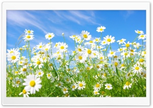 Field Of Daisies HD Wide Wallpaper for Widescreen