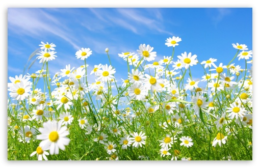 Field Of Daisies HD wallpaper for Wide 16:10 5:3 Widescreen WHXGA WQXGA WUXGA WXGA WGA ; HD 16:9 High Definition WQHD QWXGA 1080p 900p 720p QHD nHD ; Standard 4:3 5:4 3:2 Fullscreen UXGA XGA SVGA QSXGA SXGA DVGA HVGA HQVGA devices ( Apple PowerBook G4 iPhone 4 3G 3GS iPod Touch ) ; Tablet 1:1 ; iPad 1/2/Mini ; Mobile 4:3 5:3 3:2 16:9 5:4 - UXGA XGA SVGA WGA DVGA HVGA HQVGA devices ( Apple PowerBook G4 iPhone 4 3G 3GS iPod Touch ) WQHD QWXGA 1080p 900p 720p QHD nHD QSXGA SXGA ;