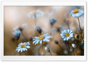 Field Of Daisies Macro HD Wide Wallpaper for Widescreen